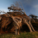 The Forever Bent Trees of Slope Point, New Zealand