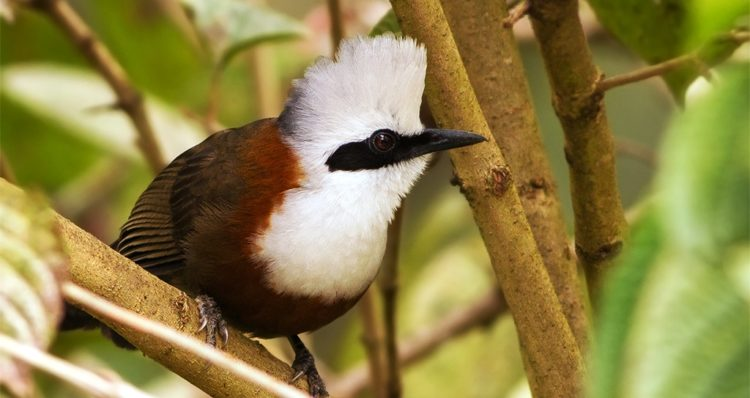 The bird has mostly chestnut-brown upperparts, a white head and breast with a protuberant white crest that sometimes appears a dirty grey due to the accumulation of dust, as well as a broad black stripe running from the lores across the eye to the ear coverts.