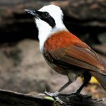 The Charismatic and Cute Looking White-Crested Laughingthrush