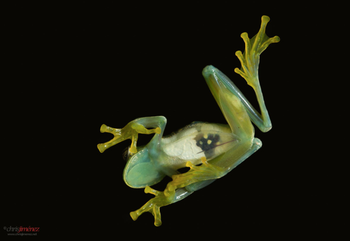 The beautiful Glass frogs are a diverse family, ranging from Mexico to Panama, through the Andes from Venezuela and the island of Tobago to Bolivia, with some species in the Amazon and Orinoco River basins, the Guiana, and southeastern Brazil, and northern Argentina.
