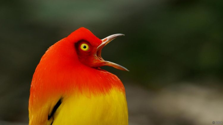 The bird habitats is lowland and montane rainforest and adjacent second growth, occurs from lowlands up to 1400m, aureus mainly at 850 - 1400m.