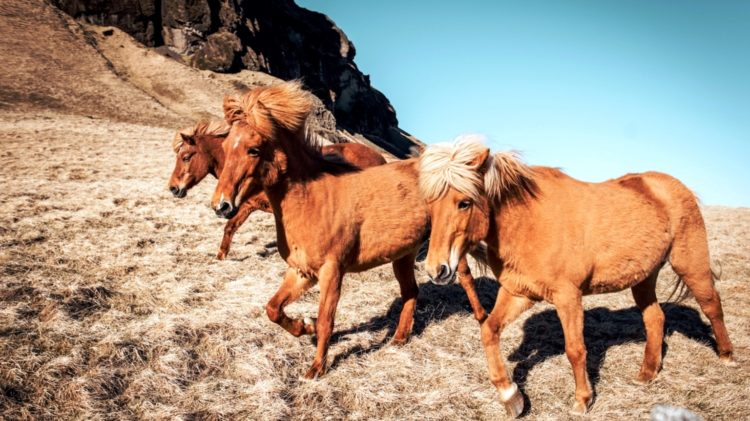 Icelandic Horses Photo Alice Donovan Rouse