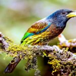 "The Great Barbet ""Psilopogon Virens"""