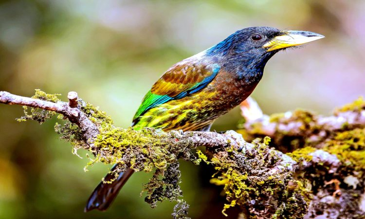 "The great barbet ""Psilopogon virens"" is an Asian barbet, are a group of near passerine birds with a worldwide tropical distribution."