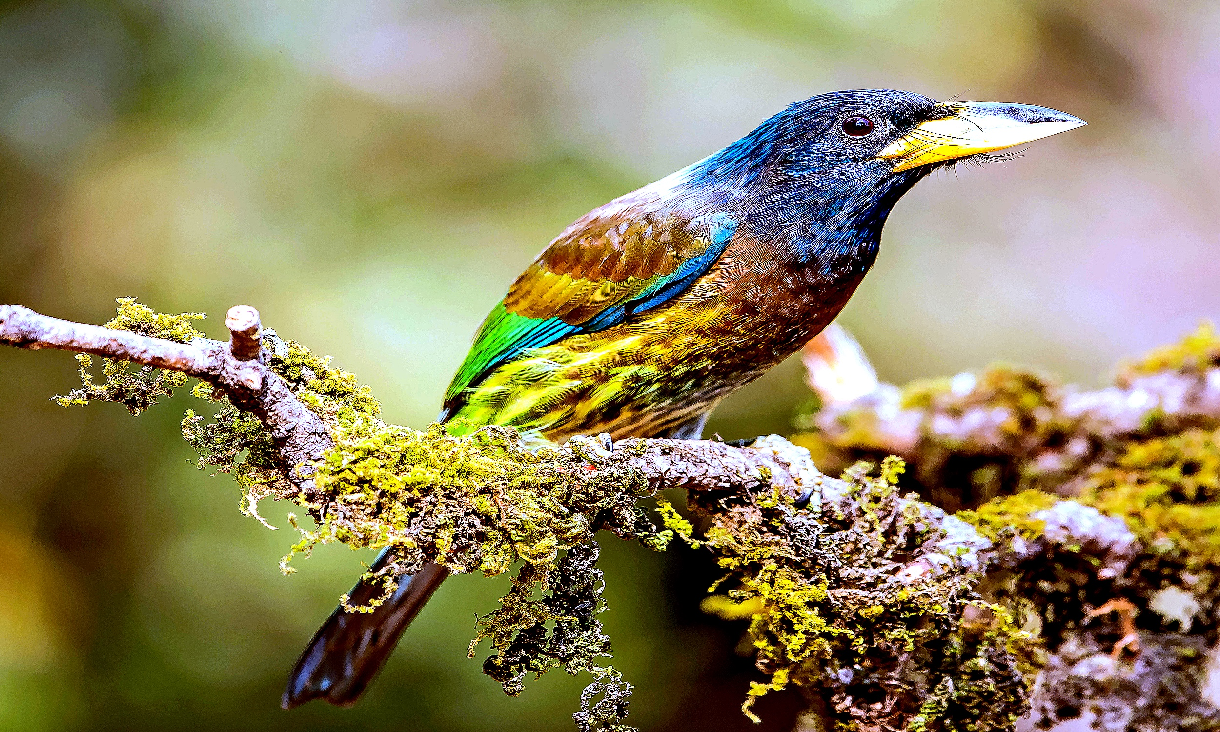 """The great barbet """"Psilopogon virens"""" is an Asian barbet, are a group of near passerine birds with a worldwide tropical distribution."""