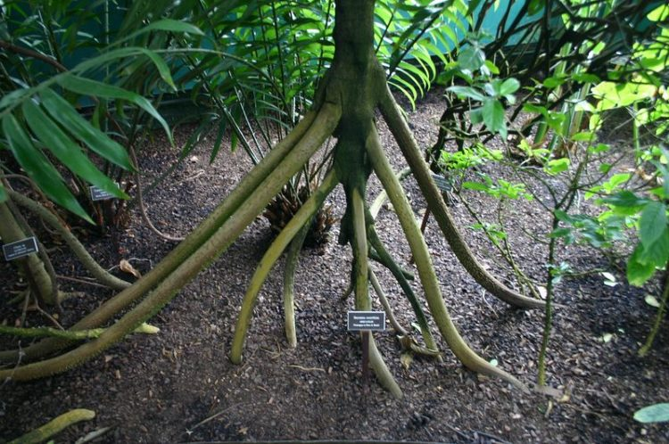 This unbelievable story of the walking palm tree has been told by rainforest guides to visitors for many years, and appears in many sources both in social media and print.