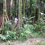 The Walking Palm Tree