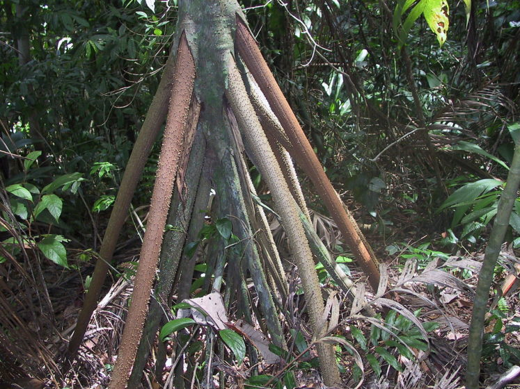A close up view of the stilt roots