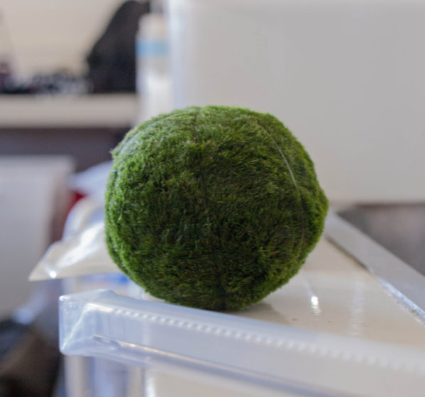The species itself is called Moss Balls of Lake Myvatn and Lake Akan is a species of filamentous green algae named Aegagropila linnaei that grow into large green balls with a velvety appearance.