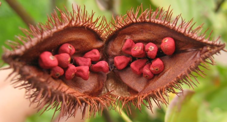 Annatto, Open fruit of the achiote tree (Bixa orellana), showing the seeds from which annatto is extracted.
