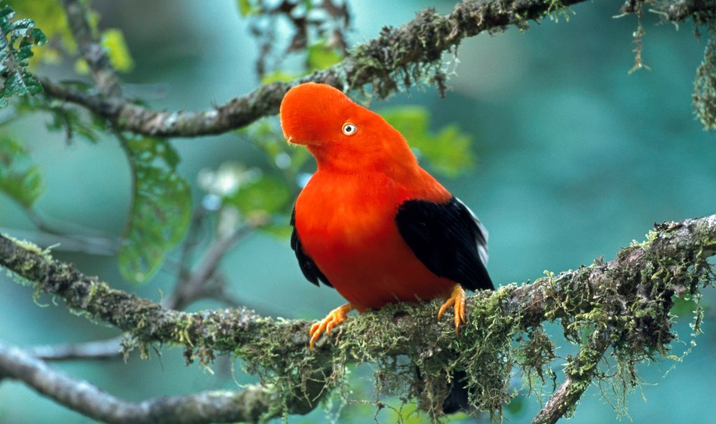 The amazingly bizarre Andean Cock-of-the-rock is maybe the most widely recognized bird of the cloud forests of the Andes Mountains.