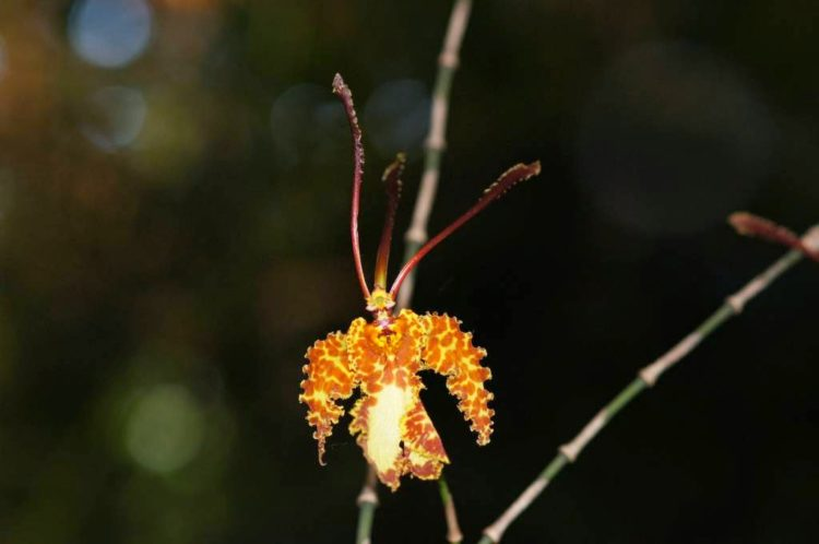 Psychopsis with 38 chromosomes and two pollinia grow epiphytically in wet rainforest and also dry upland forest.