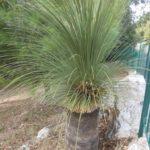 "The Grass Tree ""Xanthorrhoea glauca"""