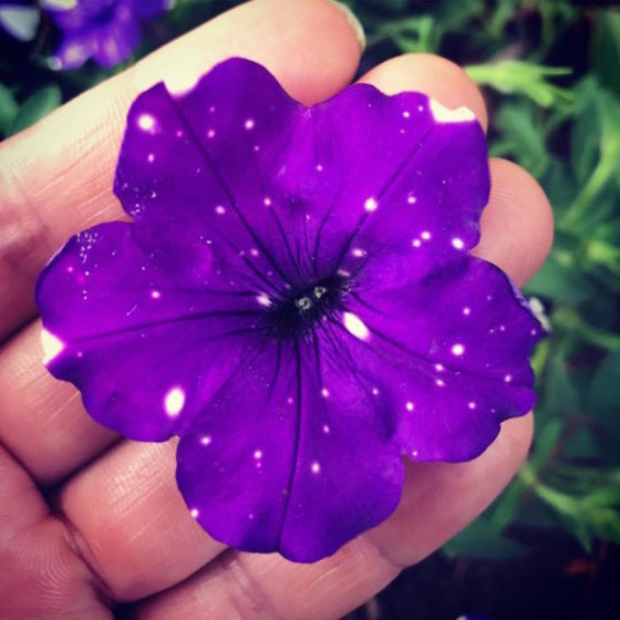 So, all you need to do is to buy yourself some Night Sky Petunias, because as you can see, there petals look like they're hiding secret little universes inside of them. (Image credits oahu_gardeners)