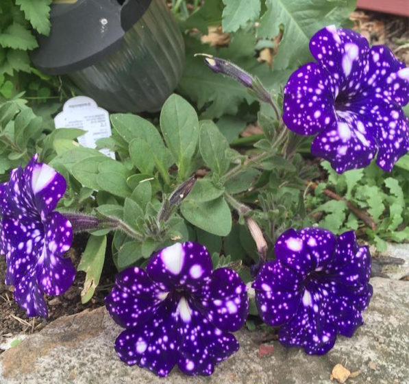 If you'd like to grow your own galaxy-in-a-pot, you can pick up a packet of Night Sky Petunia seeds from Amazon.  (Photo Credit Wilddaylilies)