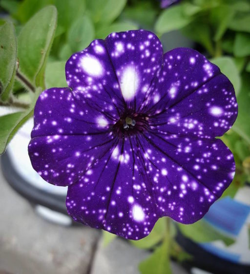 This cosmic flower features exclusive markings reminiscent of a starry sky. (Photo Credit breezer102)