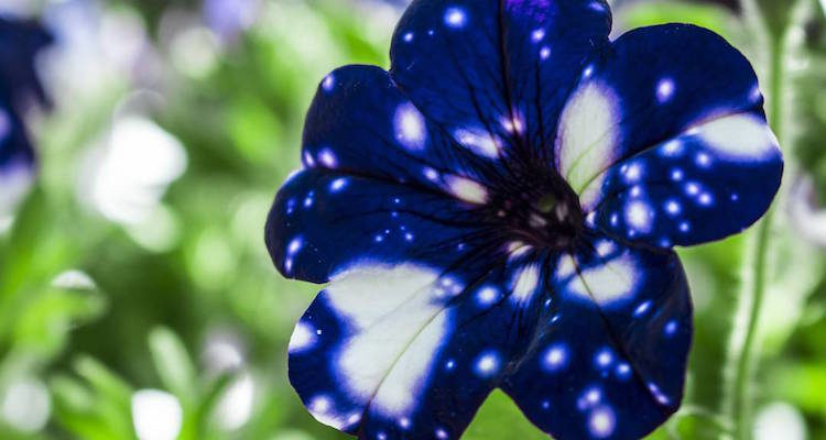 This hypnotic characteristic has made Night Sky Petunias, which can reach an average height of 16 inches and bloom during the spring and summer. (Photo Credit irenefotod)