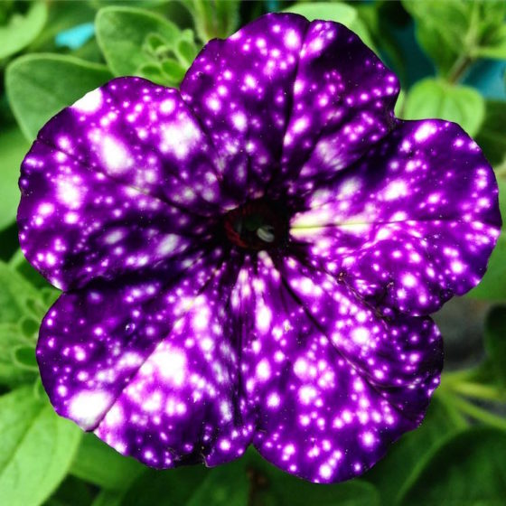 Thus, to guarantee that you're Night Sky Petunias are always shining, you should aim to keep them toasty warm during the day and cool at night. (Photo Credit sylvia.lund)