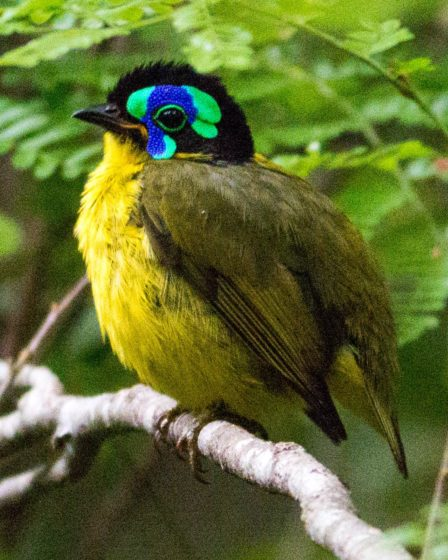 The Schlegel's Asity (Philepitta schlegeli) Male, Plumage can found in Madagascar.
