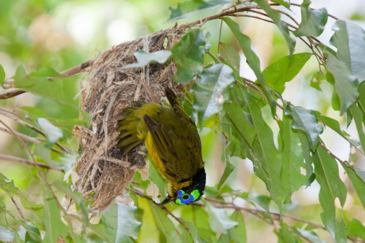 Its nest is globular in shape and suspended from a low branch of an understory tree.