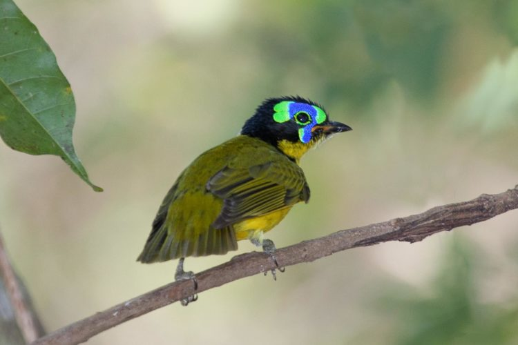 The Schlegel's Asity is 12·5 to 14 cm, small bird, rotund, short-tailed, with short bill and legs.