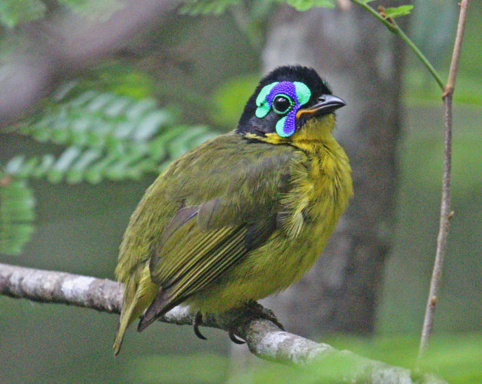 This fantastic bird is a species of bird belongs to Philepittidae family.