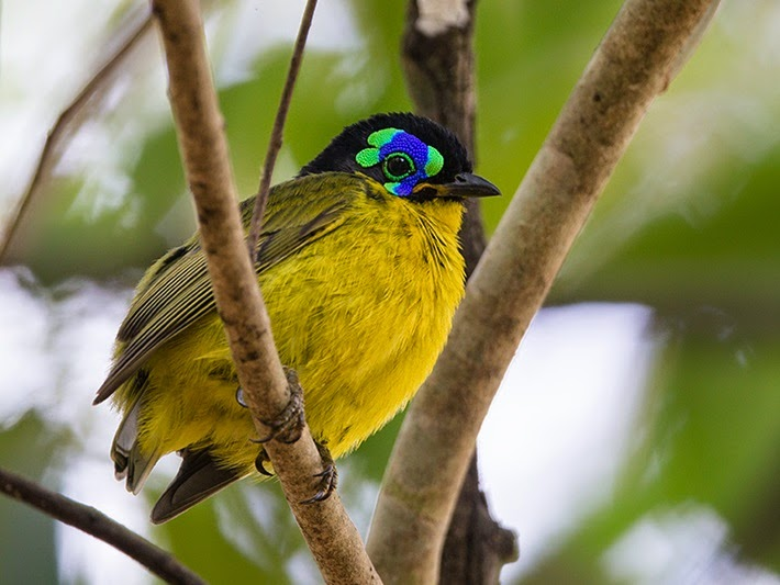 This species has elaborate secondary sexual characters. Adult breeding males of the Schlegel's Asity have supraorbital caruncles, which are feather less, fleshy excrescences of the dermis above the eye.