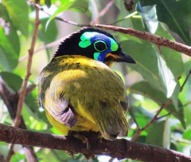 The bird likes largely frugivorous, especially in rainy season; fruits include those of Cabucala (Apocynaceae).