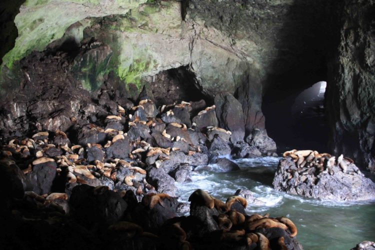 Local seaman, Captain Willian Cox, discovered Sea Lion Caves in 1880, which entered the grotto through the western channel in a small boat on a calm day.