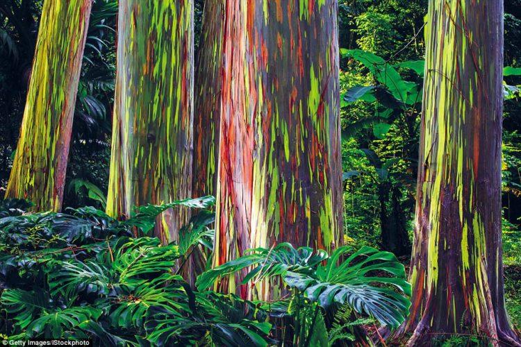 Eucalyptus deglupta is a tall tree, also famous as the rainbow eucalyptus, Mindanao gum, or rainbow gum.
