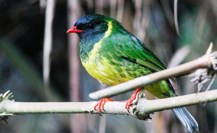 """The green-and-black fruiteater is also called """"Pipreola riefferii"""" is a species of bird in the family Cotingidae."""