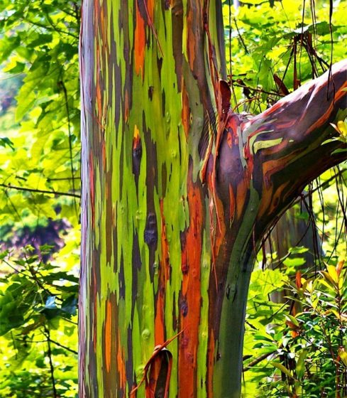 Moreover beside of climate, rainbow eucalyptus growing conditions include full sun and moist soil.