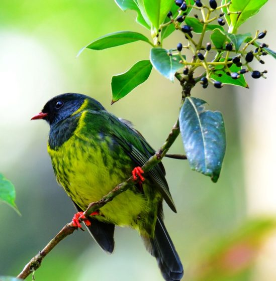 The adult male bird has a black head, throat and chest glossed with green and mid-green upper parts, with pale tips to the tertial feathers of the wings.