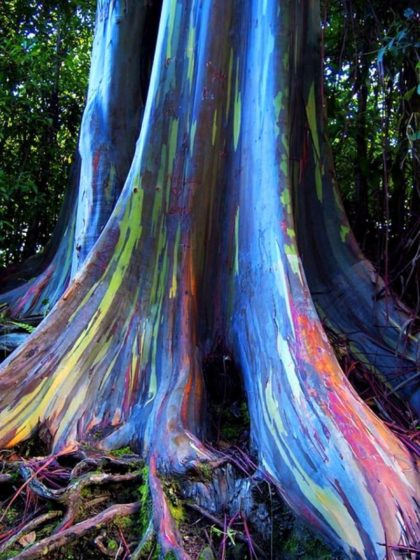 Though the tree's color isn't as intense outside its native range, rainbow eucalyptus bark color makes it one of the most astonishingly colorful trees you can grow. Rainbow eucalyptus is an enormous tree that is out of scale for most home landscapes