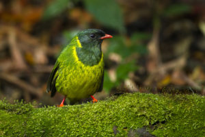 The green & black fruiteater can found in Colombia, Ecuador, Peru, and Venezuela.