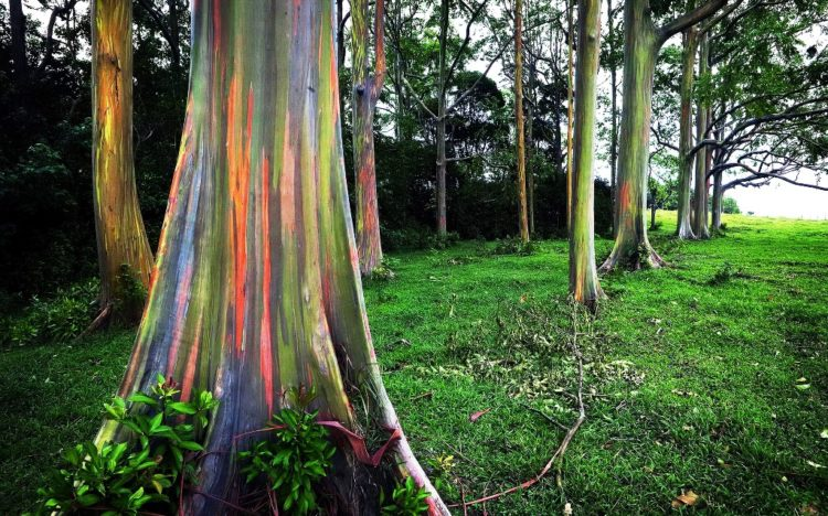 The trees' amazing hues come about thanks to sections of bark shedding at different times during the year.