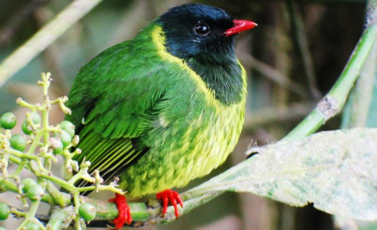 Its range extends from southern Venezuela to northern Peru and its altitudinal range is between 1,500 and 2,700 m above sea level.