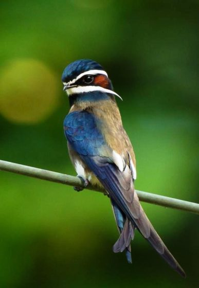 The Whiskered Treeswift (Hemiprocne comata) is a species of bird found in Brunei, Malaysia, Singapore, Indonesia, Myanmar, Philippines, and Thailand.