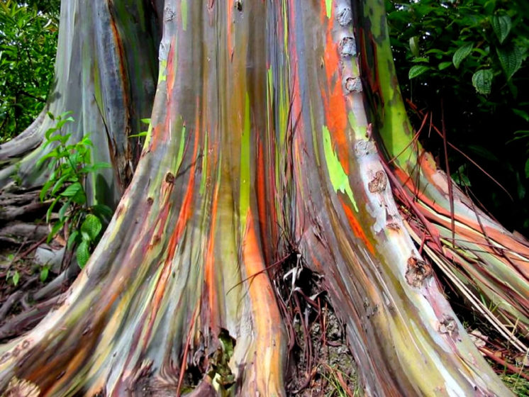 This unusual multi-colored streaks on its trunk comes from patches of outer bark that are shed annually at different times, showing the bright-green inner bark.
