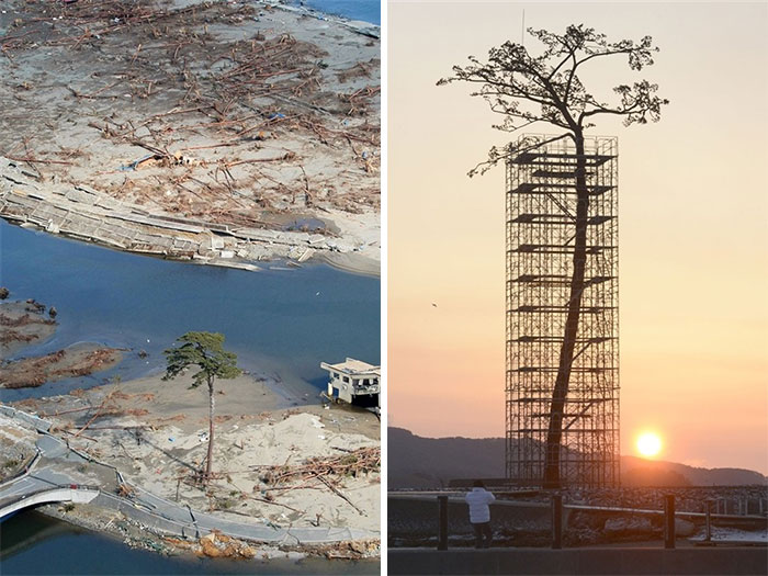 The only Tree that survived the Tsunami in Japan Between 70,000 trees. However protected today and restored to mother nature.
