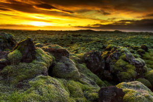 In Iceland Moss is a common plant, widely grows in the mountainous region. The moss has a special characteristic of Iceland's lava fields.