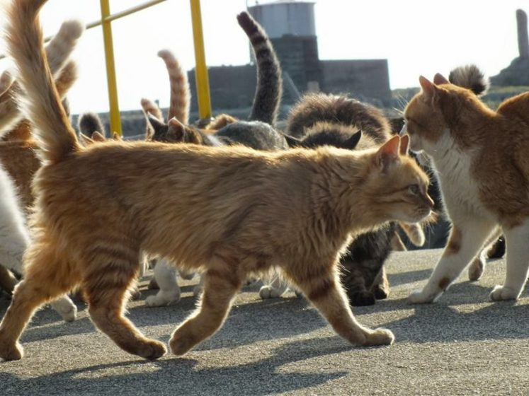 . However, the 0.5 km²island does have one unique claim to fame–it's known as a paradise for cats and cat lovers. Image credit Hal Arai