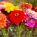Zinnia, The Flowers Come in Bright Colors