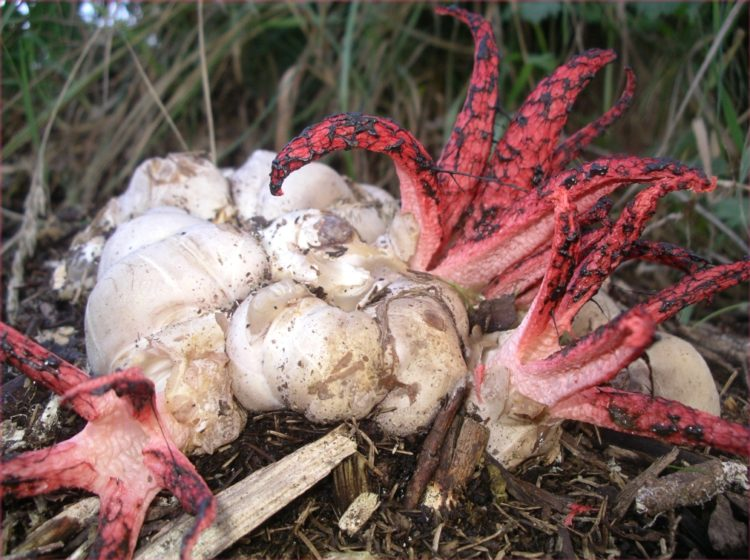 In Britain this amazing fungus is usually known as Devil's Fingers, and in parts of the USA it is referred to as the Octopus Fungus.
