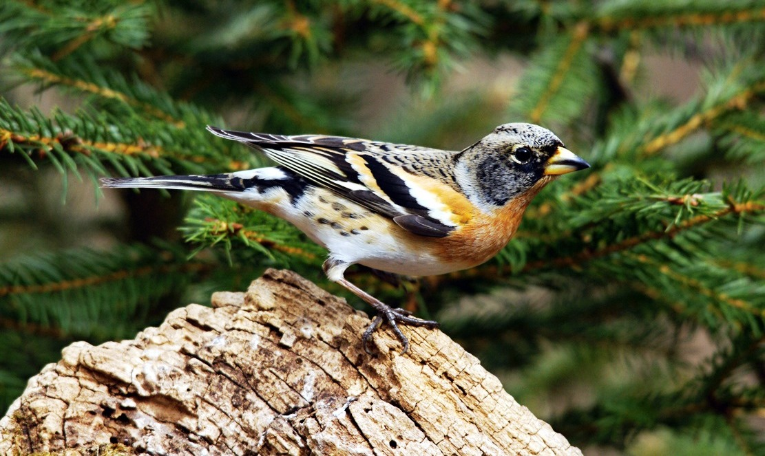 The beautiful brambling is alike in size and shape to a common chaffinch.