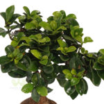 Ficus, The Most Popular House Plant