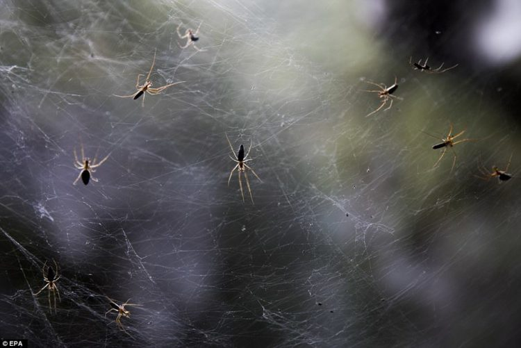 On the banks of a creek near Jerusalem Israel, stands a captivated forest, where its trees shrouded by huge cobwebs woven by long-jawed spiders.