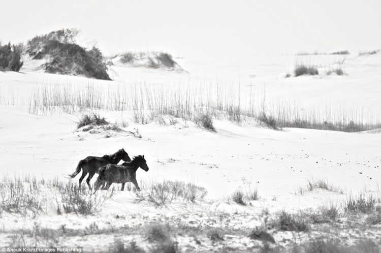 Anouk Masson Krantz's book captures the freedom the horses have on Cumberland Island. They've never been ridden or domesticated by humans