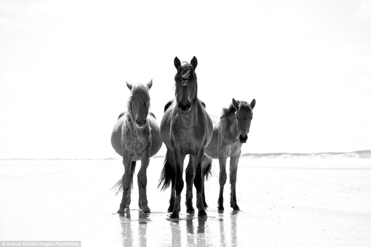 Around 150 wild horses live on America's Cumberland Island, which has just one hotel