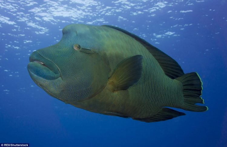 The Napoleon wrasse is a huge reef fish, grow to over 6 feet in length, a gentle, friendly species found in oceans all over the world, but common in the Red Sea and the Maldives